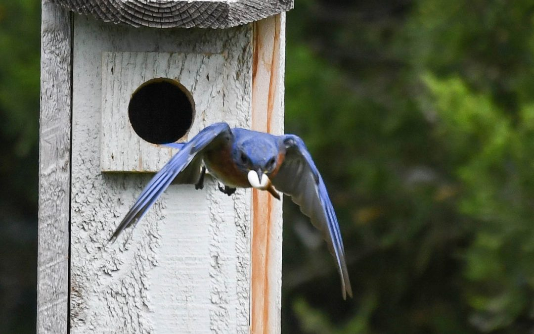 Eastern Bluebirds find a home at UW Oshkosh