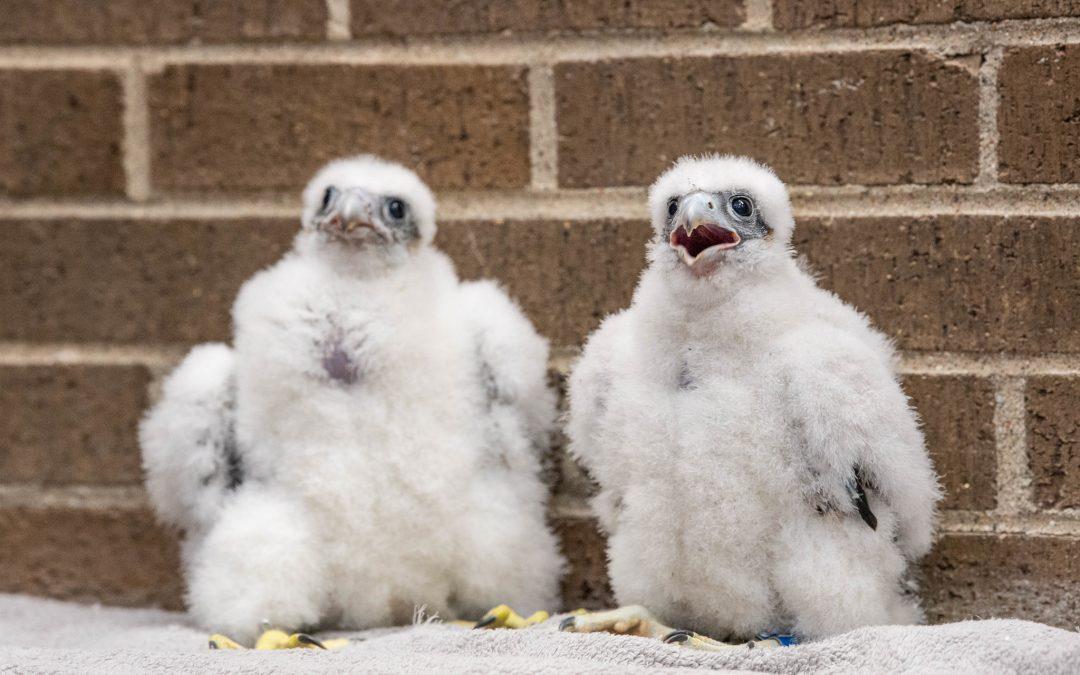 Falcon chicks named for UW Oshkosh access campuses