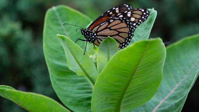 UWO seeks to boost monarch population as campus way station