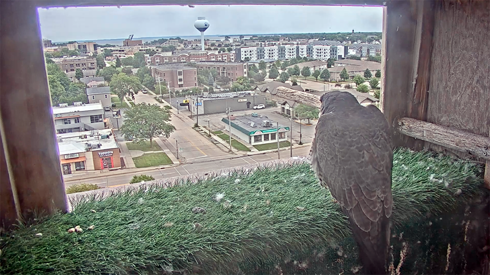Livestream: Check in on Strength and Courage, the peregrine falcons nested at UWO