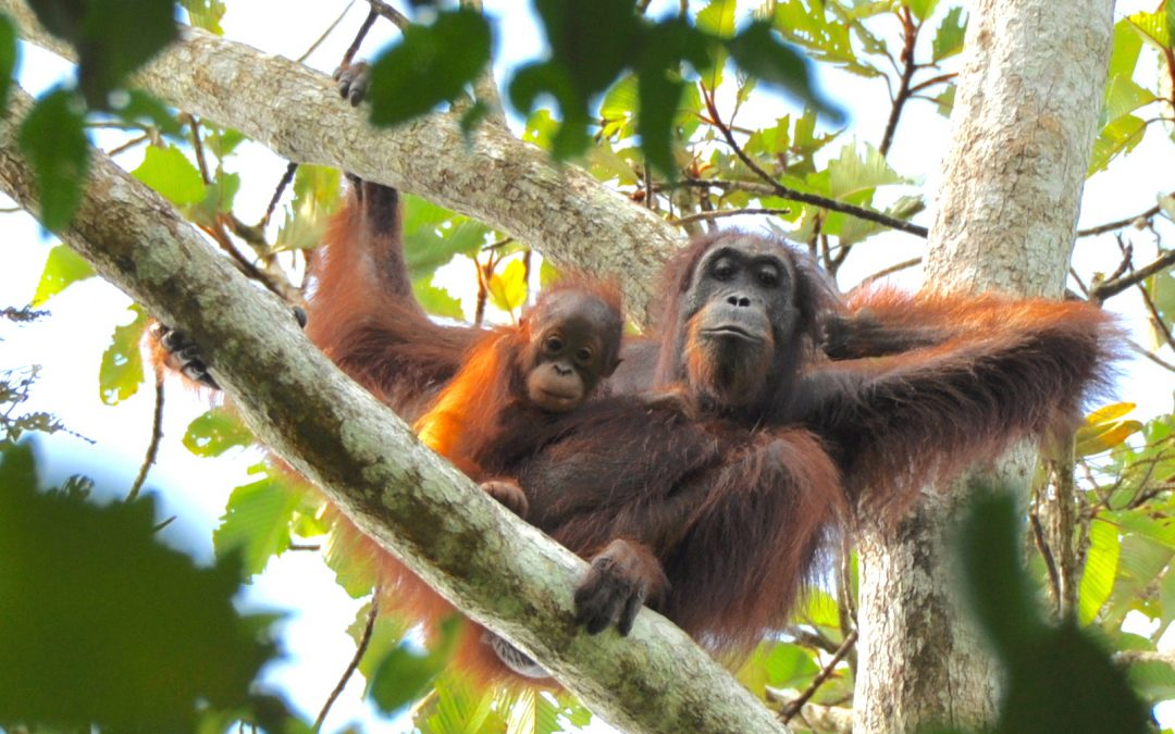 Humans profoundly shaped orangutans over thousands of years, new UWO research shows