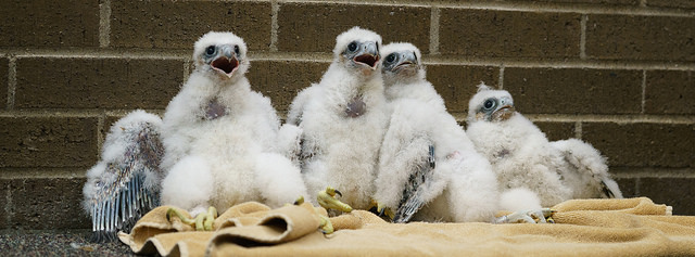 Researchers track banded falcons for life